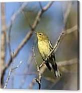 Blackpoll Warbler Canvas Print