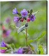 Common Lungwort Canvas Print