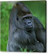 Gorille De Plaine Gorilla Gorilla Canvas Print