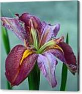 Louisiana Iris Canvas Print