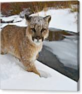 Mountain Lions In The Western Mountains Canvas Print