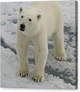 Polar Bear Crossing Ice Floe Canvas Print