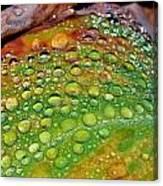 Raindrops On Lily Leaf Canvas Print
