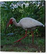 White Ibis Canvas Print