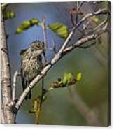 Yellowrumped Warbler Canvas Print