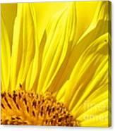 #923 D718 You Are My Sunshine. Sunflower On Colby Farm Canvas Print