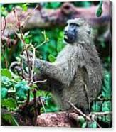 A Baboon In African Bush Canvas Print