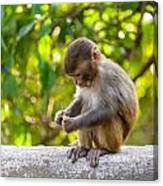 A Baby Macaque Eating An Orange Canvas Print