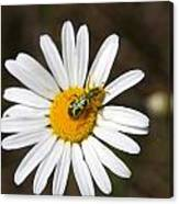 A Beattle On A Daisy Canvas Print