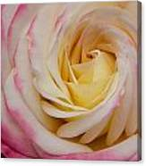 A Beautiful Pink Rose In Summertime Canvas Print