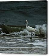 A Beautiful Snowy White Egret On Hilton Head Island Beach Canvas Print