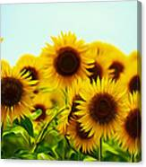 A Beautiful Sunflower Field Canvas Print