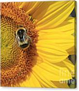 A Bee Gathering Pollen On A Sun Flower Canvas Print