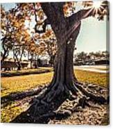 A Big  Tree Trunk Of Long Beach In The Autumn Canvas Print