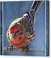 A Blue Morning Housefinch Canvas Print