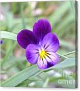 A Blue Pansy Canvas Print
