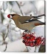 A Bohemian Waxwing Feeding On Mountain Canvas Print