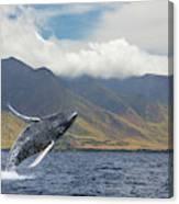 A Breaching Humpback Whale  Megaptera Canvas Print