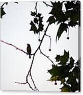 A Brown Thrasher Sings In Sycamore Tree Canvas Print