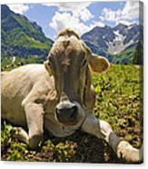 A Calf In The Mountains Canvas Print
