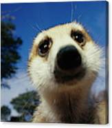 A Close View Of A Meerkats Face Canvas Print