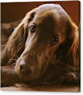A Close View Of An Irish Setter Canvas Print
