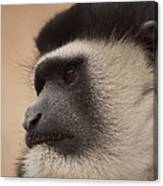 A Colobus Monkey Canvas Print