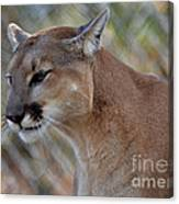 A Cougar In Deep Thought Canvas Print
