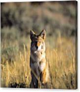 A Coyote Canis Latrans Stares Canvas Print