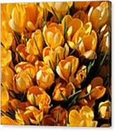 A Crowd Of Crocuses Canvas Print
