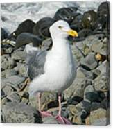 A Curious Seagull Canvas Print