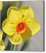 A Daffodil Hello Canvas Print