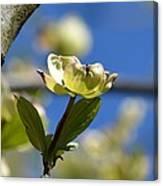 A Dogwood Blossom Canvas Print