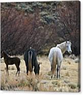 A Family Of Three - Wild Horses - Green Mountain - Wyoming Canvas Print