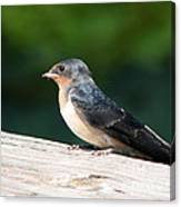 A Female Purple Martin Is Watching You Canvas Print