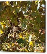 A Few Grapes Left For The Birds Canvas Print