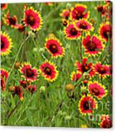 a field of Indian Blankets Canvas Print
