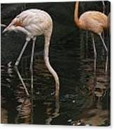 A Flamingo With Its Head Under Water In The Jurong Bird Park Canvas Print