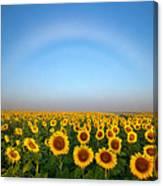 A Fog Bow Over The Colorado Sunflower Fields Canvas Print