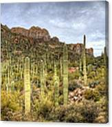 A Forest Of Saguaros  Canvas Print