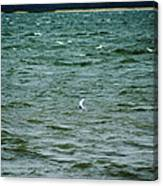 A Forster Tern Fighting The Winds Out At Sea Canvas Print