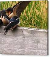 A Fourth Baby Barn Swallow Wants In On Lunch Canvas Print