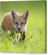 A Fox In The Grass  Montreal, Quebec Canvas Print