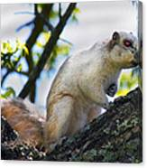 A Fox Squirrel Pauses Canvas Print