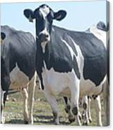 A Full Grown Holstein Cow Canvas Print