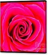 A Fuschia Pink Rose Canvas Print