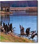A Gaggle Of Geese Canvas Print