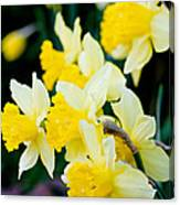 A Gathering Of Daffodils Canvas Print
