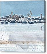 A Gathering Of Pelicans Canvas Print