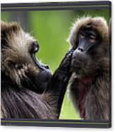 A Gentle Caress   Gelada Baboons Canvas Print